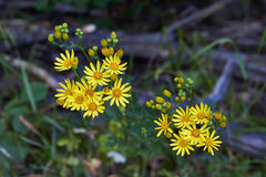 Hieracium murorum. Yellow flowers in a forest glade Royalty Free Stock Image