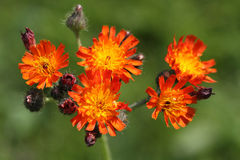 Hieracium pilosella also called as mouse-ear hawkweed Stock Images
