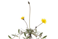 Hieracium pilosella Royalty Free Stock Images