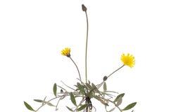 Hieracium pilosella Royalty Free Stock Images