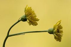Hieracium sylvaticum Stock Photography