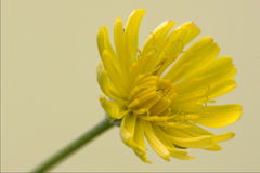 Hieracium Sylvaticum Royalty Free Stock Photography