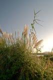 Hierba alta cerca del lago en la puesta del sol Fotos de archivo libres de regalías