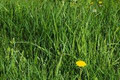 Hierba alta de Unmowed con el diente de león y la mala hierba Foto de archivo