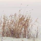 Hierba alta en nieve Fotos de archivo libres de regalías