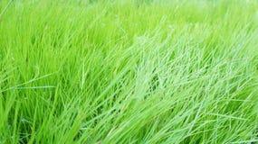 Hierba alta verde Fotos de archivo libres de regalías