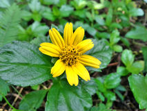 Hierba amarilla de la flor, Tailandia Imagen de archivo libre de regalías