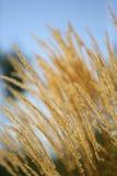 Hierba amarilla del trigo imágenes de archivo libres de regalías