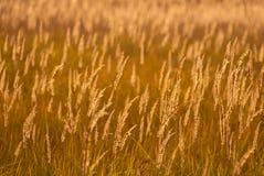 Hierba amarilla en puesta del sol Imagen de archivo libre de regalías