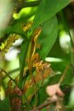 Hierba Anole (krugi de la altiplanicie del Anolis) Fotografía de archivo libre de regalías