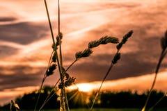 Hierba azul delante de la puesta del sol Imagenes de archivo