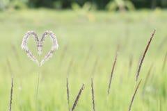 Hierba blanca del corazón (Cogongrass, Alang-alang, Lalang) Imágenes de archivo libres de regalías