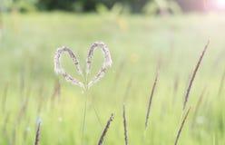 Hierba blanca del corazón (Cogongrass, Alang-alang, Lalang) fotos de archivo