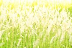 Hierba borrosa de la flor en la tarde Foto de archivo libre de regalías