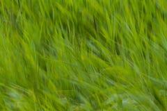 Hierba borrosa extracto Imagen de archivo libre de regalías