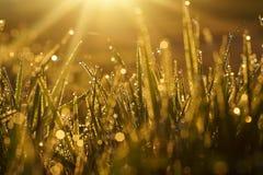 Hierba brillante macra Foto de archivo