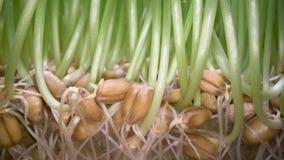 Hierba comestible creciente en casa Brotes verdes que salen de las semillas en el pote blanco, bio comida, forma de vida sana de  almacen de metraje de vídeo