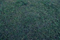 Hierba con descensos en el tono azul hierba verde en el claro de luna Imagen de archivo libre de regalías