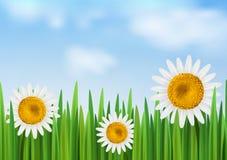 Hierba con la flor de la margarita y el cielo azul Foto de archivo libre de regalías