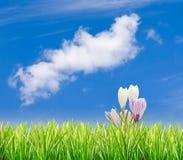 Hierba con las azafranes y el cielo azul Foto de archivo libre de regalías