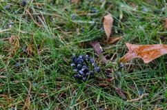 Hierba con los berrys y las hojas del cedro rojo fotos de archivo