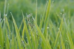 Hierba con rocío el madrugada del verano Foto de archivo