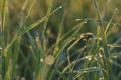 Hierba con rocío el madrugada del verano Fotos de archivo libres de regalías