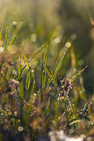 Hierba con rocío en el amanecer Fotos de archivo libres de regalías