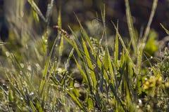 Hierba con rocío en el amanecer Fotografía de archivo