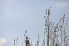 Hierba contra el cielo azul Imagenes de archivo