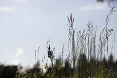Hierba contra el cielo azul Imagen de archivo libre de regalías