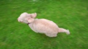 Hierba corriente del perro Perro de caniche blanco que corre en hierba verde en el patio trasero del jardín