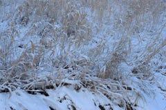 Hierba costera de un río del bosque en una mañana escarchada del invierno debajo de la nieve blanca pura Imagen de archivo libre de regalías