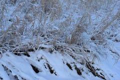 Hierba costera debajo de la nieve en una mañana escarchada del invierno Imagenes de archivo