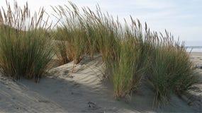 Hierba costera del mar Fotografía de archivo