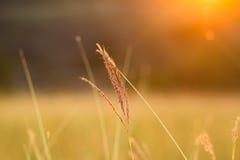 Hierba cuando puesta del sol con retro, filtro del vintage Fotografía de archivo