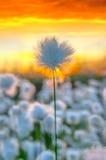Hierba de algodón Imagen de archivo