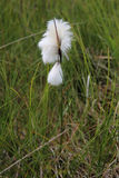 Hierba de algodón Foto de archivo libre de regalías