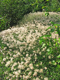 Hierba de algodón de Alaska Fotos de archivo