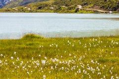 Hierba de algodón por el lago Imagen de archivo libre de regalías