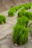 Hierba de arroz Imagenes de archivo