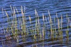 Hierba de bahía Imagen de archivo