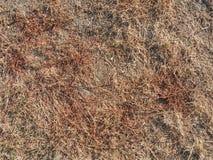 Hierba de Brown secada dentro de sequedad extrema Tallos de la hierba secada i imagenes de archivo