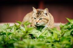 Hierba de Cat Sniffing Fresh Spring Green al aire libre Fotografía de archivo libre de regalías