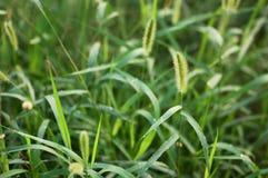 Hierba de cerda verde 2 Imagenes de archivo