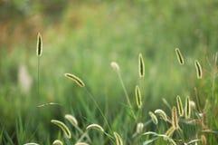 Hierba de cerda verde 3 Fotografía de archivo