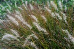 Hierba de cola de zorra en temporada de otoño Foto de archivo libre de regalías