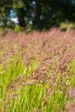 Hierba de fetuca el verano Sunny Meadow Imagen de archivo