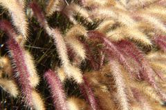 Hierba de fuente púrpura fotografía de archivo libre de regalías
