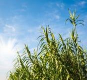 Hierba de lámina verde y cielo azul Imágenes de archivo libres de regalías